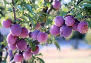 Raw Plums Health Benefits